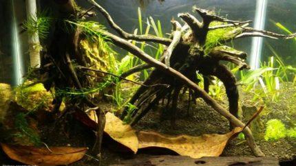 Black_water_peat_swamp_pontian_Johor_Malaysia_1