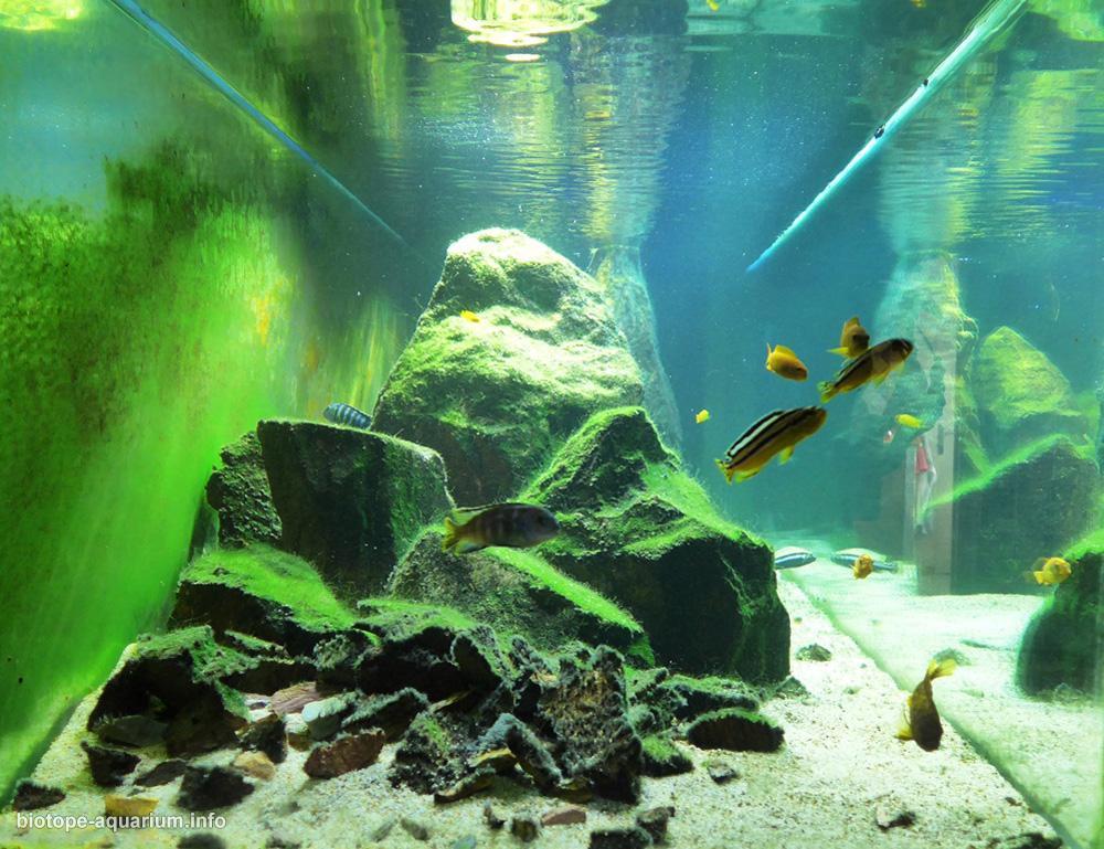 Minos Reef From Lake Malawi 1000 L Biotope Aquarium