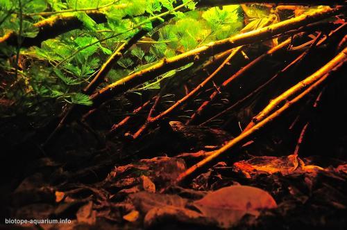 Amazonas_Manaus_Brazil_Rio_Negro_River_blackwater_biotope_2