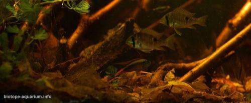 Amazonas_Manaus_Brazil_Rio_Negro_River_blackwater_biotope_4