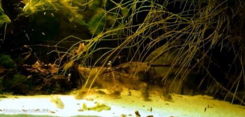 Corydoras_en_Los_Tres_Gigantes_Rio_Negro_National_Park_Paraguay_5