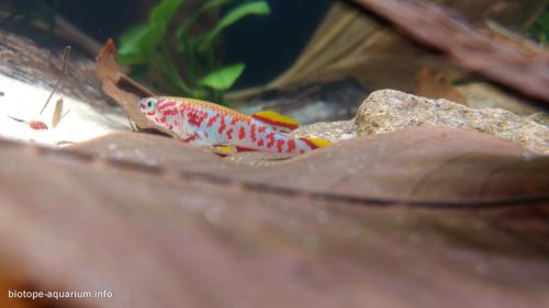 Little_creek_of_West_Africa_with_killifish_3