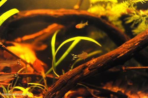 Rio_Orinoco_Hemigrammus_rhodostomus_biotope_3