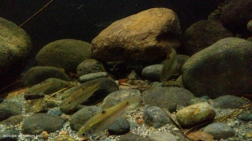 Endangered Ecosystem In Ciliwung's Shallow Water At Cibinong, Bogor – Indonesia (6)