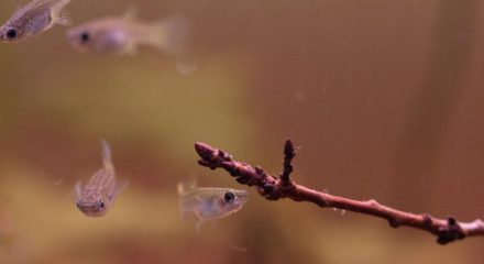 shallow-waters-in-orinoco-with-wild-guppies_4